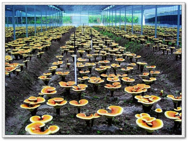 成都润馨堂药业-山东灵芝种植基地